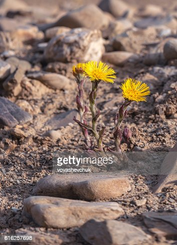 new coltsfoot flower : Foto de stock