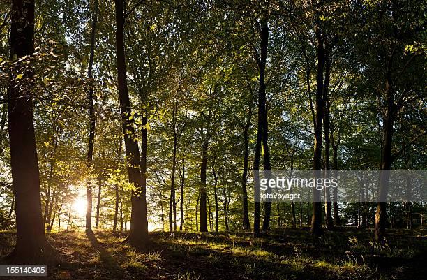 Novo dia, isso aconteça golden nascer do sol luz Idílico Floresta de Verão