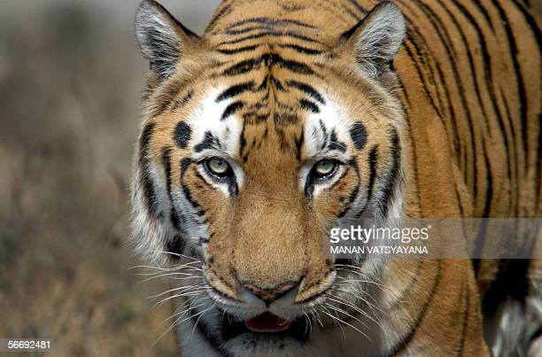 An Indian Bengal Tiger walks in its enclosure at the Zoological park in New Delhi 28 January 2006 The National Zoological Park was established in...