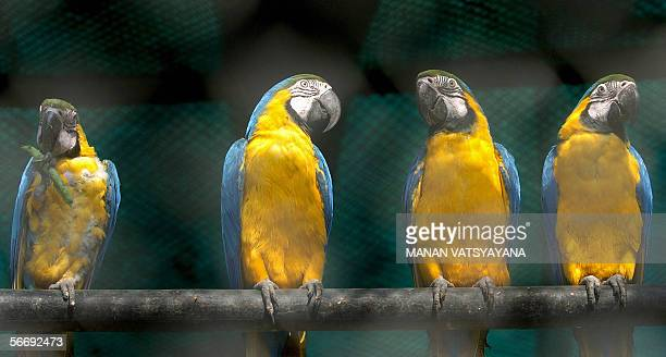 Blueandyellow Macaw birds sit on their perches in a cage at the Zoological park in New Delhi 28 January 2006 The National Zoological Park was...