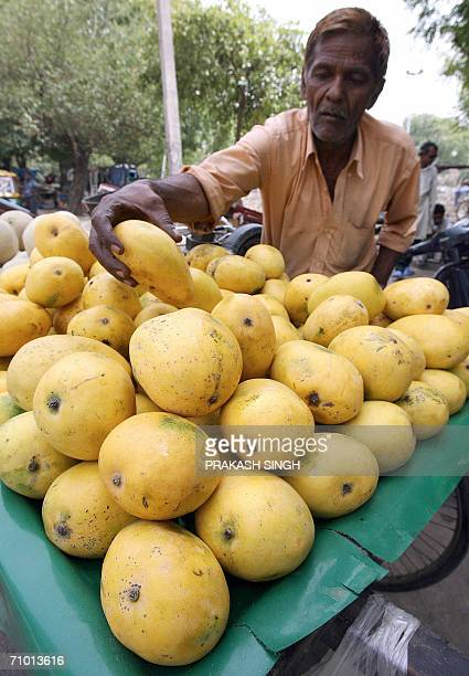 TO GO WITH 'INDIATRADEEXPORTSMANGO' An Indian fruit vendor arranges mangoes on his cart in New Delhi 20 May 2006 India the world's largest producer...
