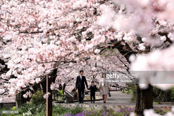 A new elementary school pupil walks with his parents under fully bloomed cherry blossom to attend the welcome ceremony on April 6 2017 in Tokyo Japan