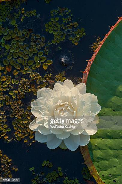 New flower of Victoria amazonica giant water lily leaf at Porto Jofre in the northern Pantanal Mato Grosso province in Brazil