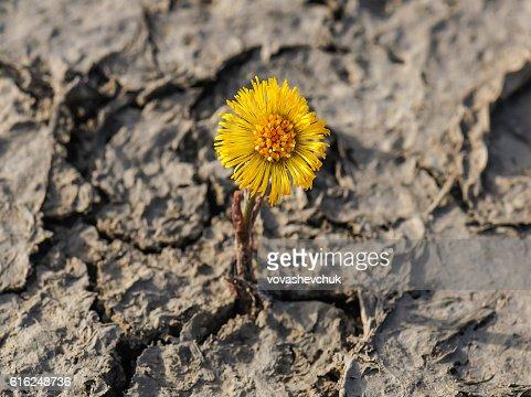 new flower on cracked soil : Foto de stock