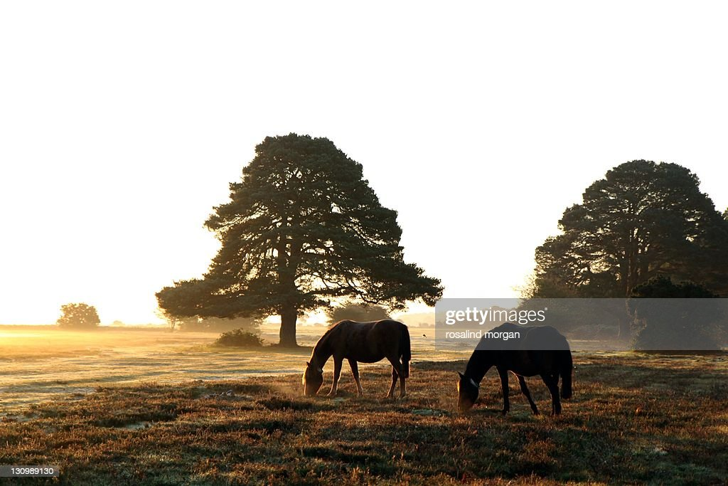 New forest feral horses grazing at dawn