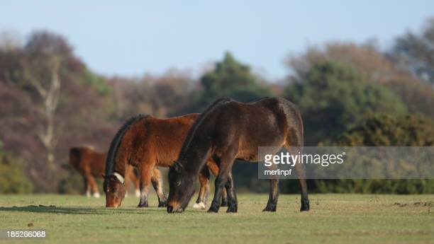 new forest ponies grazing on white field moor