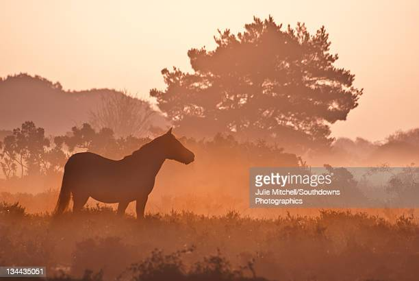 New forest pony in mist at dawn.