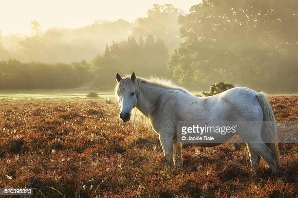 New Forest wild pony