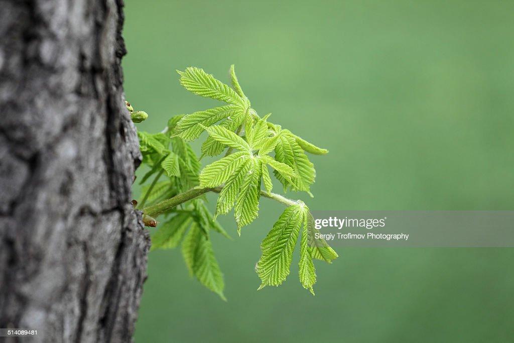 New green plant on chestnut tree