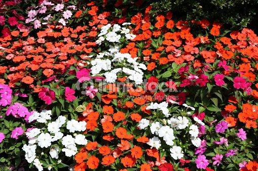 Impatiens De Nouvelleguinee Qui Fleurit Dans Le Rouge Rose Et Blanc