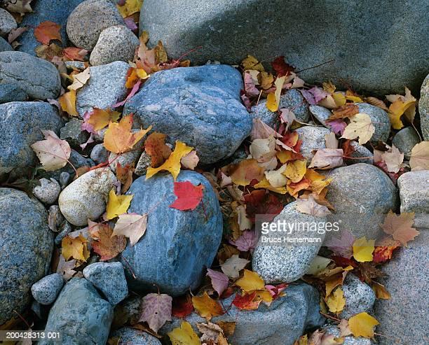 USA, New Hampshire, fallen maple leaves on river rocks, full frame