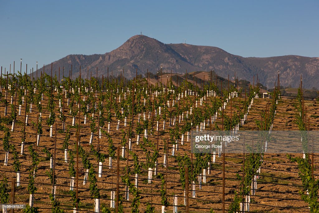 A new hillside vineyard is planted in the shadow of Mount St. Helena on September 15, 2014, near Healdsburg, California. Warm sunny skies in Sonoma County Wine Country have made for excellent grape growing conditions. Despite the drought, the 2014 grape harvest is early and average in terms of tonnage.