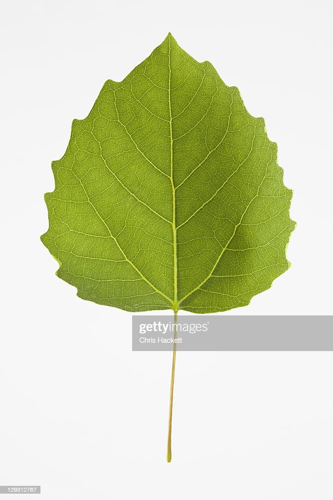 USA, New Jersey, Bigtooth Aspen Leaf