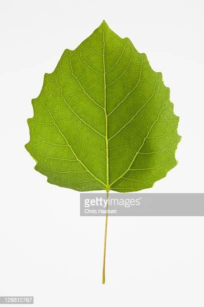 USA, New Jersey, Bigtooth Aspen Leaf