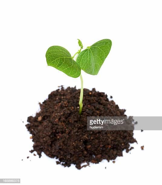 新しいライフに小豆スプラウト成長