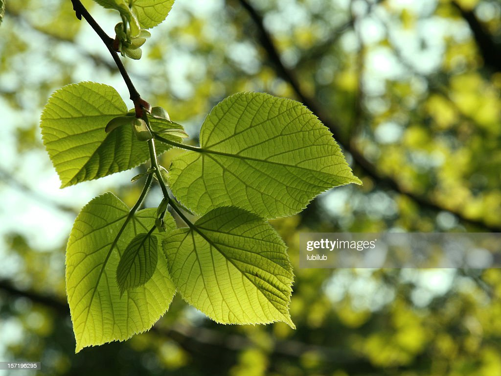 new lime tree leaves in spring stock photo getty images