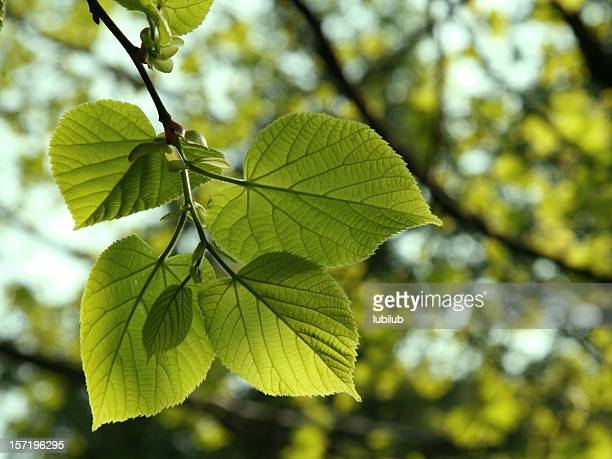 New lime (linden) tree leaves in spring