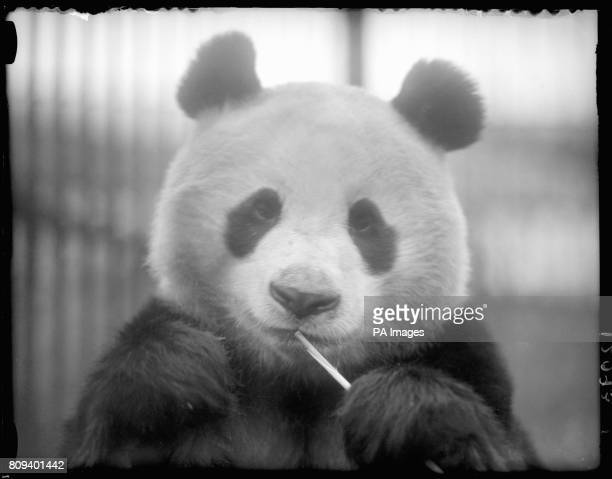 New London Zoo Panda LienHo chews on a piece of tasty bamboo after arriving from the Tibetan mountains
