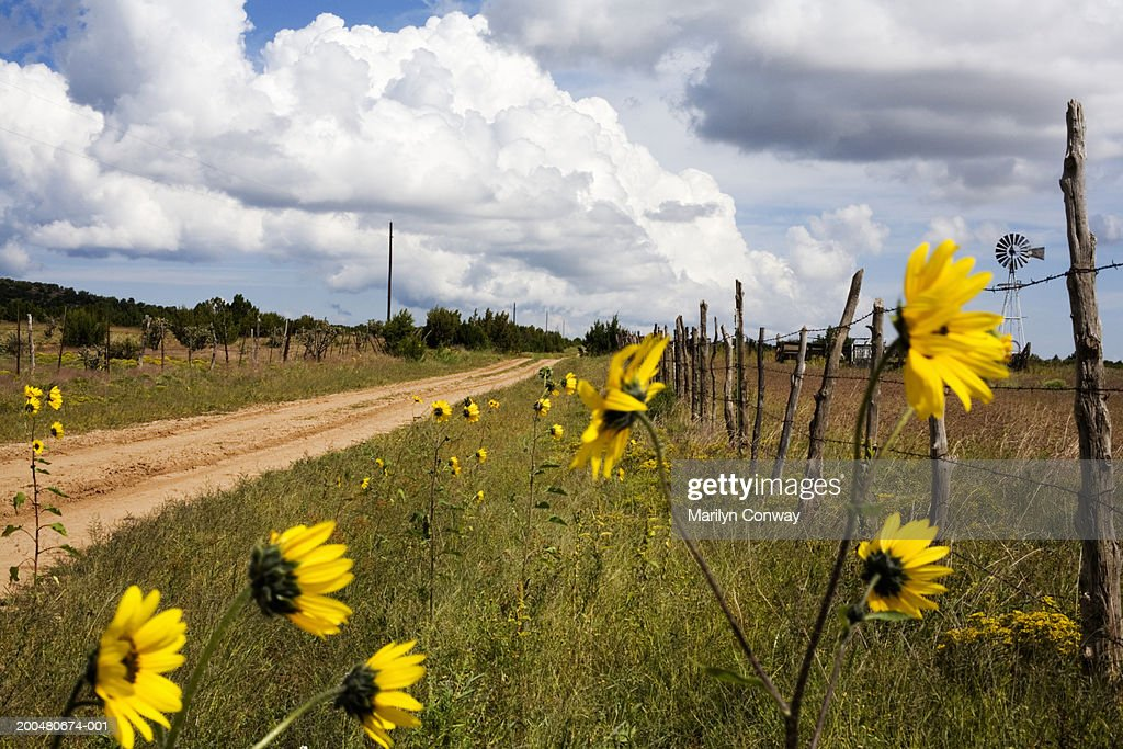 USA, New Mexico, Manzano, sunflowers by dirt road : Stock Photo