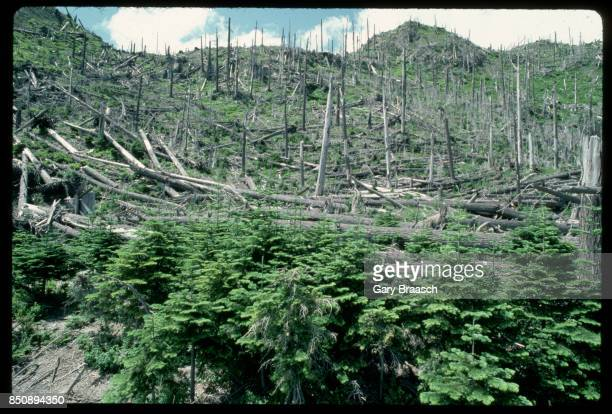 New noble firs and other trees return where a forest once stood before the eruption of Mount St Helens in 1980 Washington