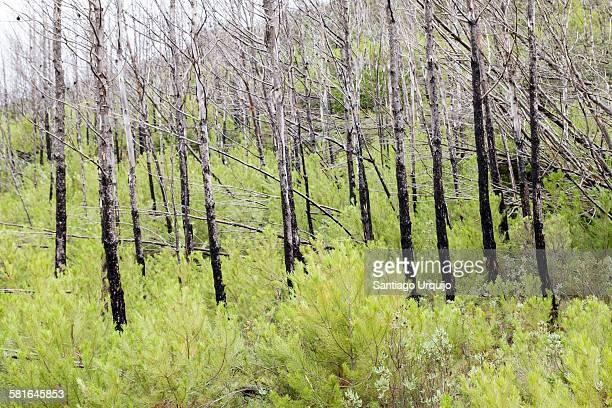 New pine trees growing among burnt pine trees