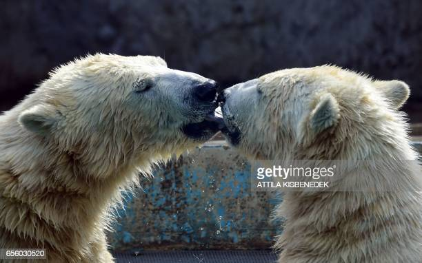 TOPSHOT New residents of the local zoo one and halfyear old polar bears Beliy and Szeriy cuddle as they explore their new home at Budapest Zoo and...