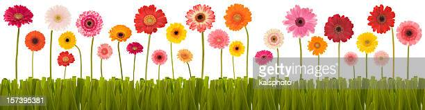 New selection of Gerberas in a row with grass