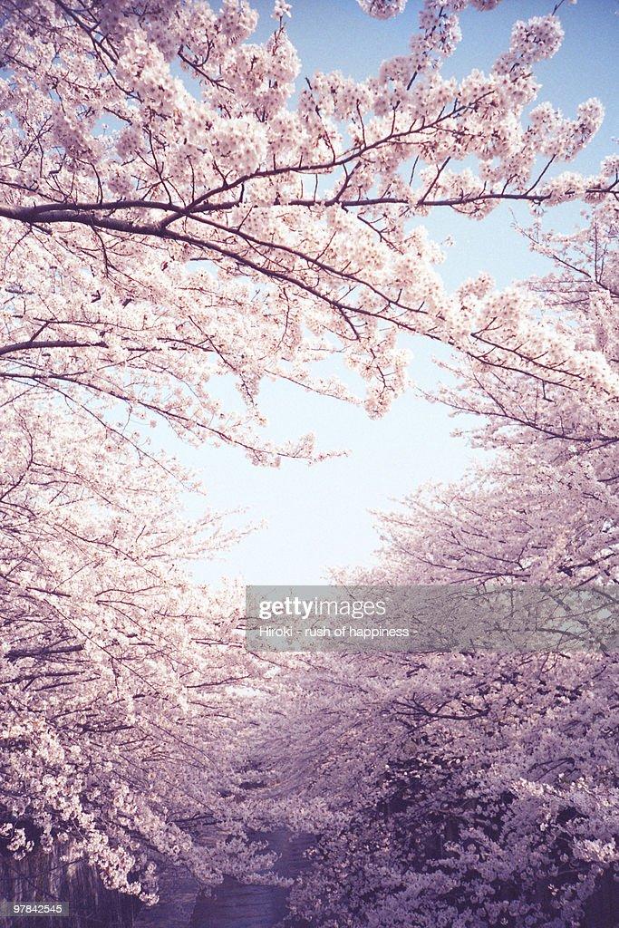 New spring, cherry tree in full bloom : Stock Photo