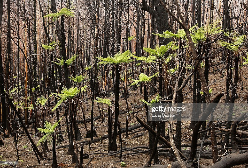 New tree growth sprouts on the 3 month anniversary of 'Black Saturday', Australia's highest ever loss of life from a bushfire, on May 7, 2009 in Marysville, Australia. As many as 400 fires were recorded on 7 February, later dubbed 'Black Saturday'. The fires resulted in 173 confirmed deaths, and over 2000 homes destroyed, with entire towns badly damaged and some almost completely destroyed.