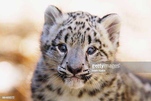 A new twin Snow Leopard cubs take in its surroundings on its first official day on display at Taronga Zoo December 20 2005 in Sydney Australia The...