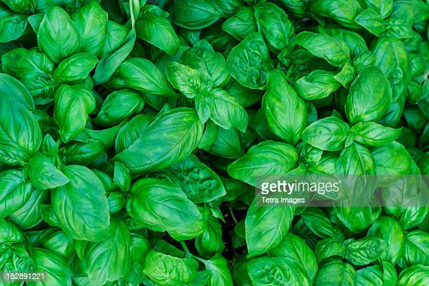 USA, New York City, Fresh basil