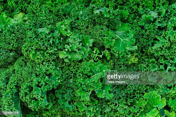 USA, New York City, Fresh kale