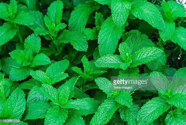 USA, New York City, Fresh spearmint