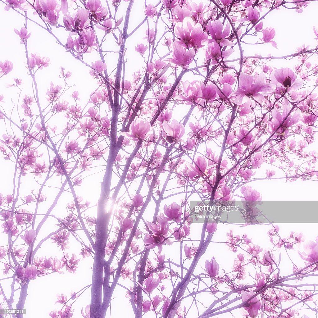 USA, New York City, Magnolia blossoms : Stock Photo