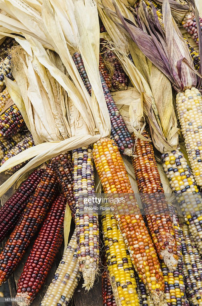 USA, New York, Corn cobs with husks : Stock Photo