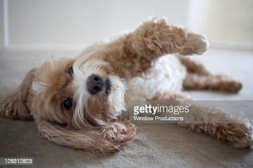 USA, New York, New York City, Brooklyn, Cockapoo dog lying on floor : Stock Photo