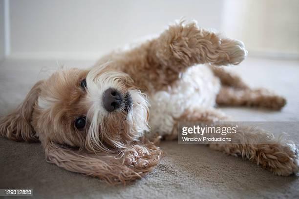 USA, New York, New York City, Brooklyn, Cockapoo dog lying on floor