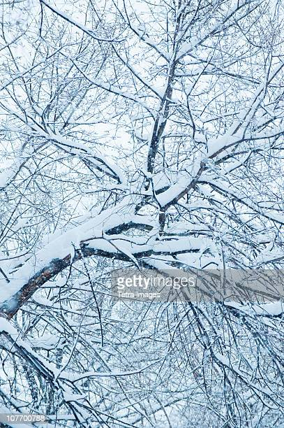 USA, New York, New York City, Snow covered tree branches