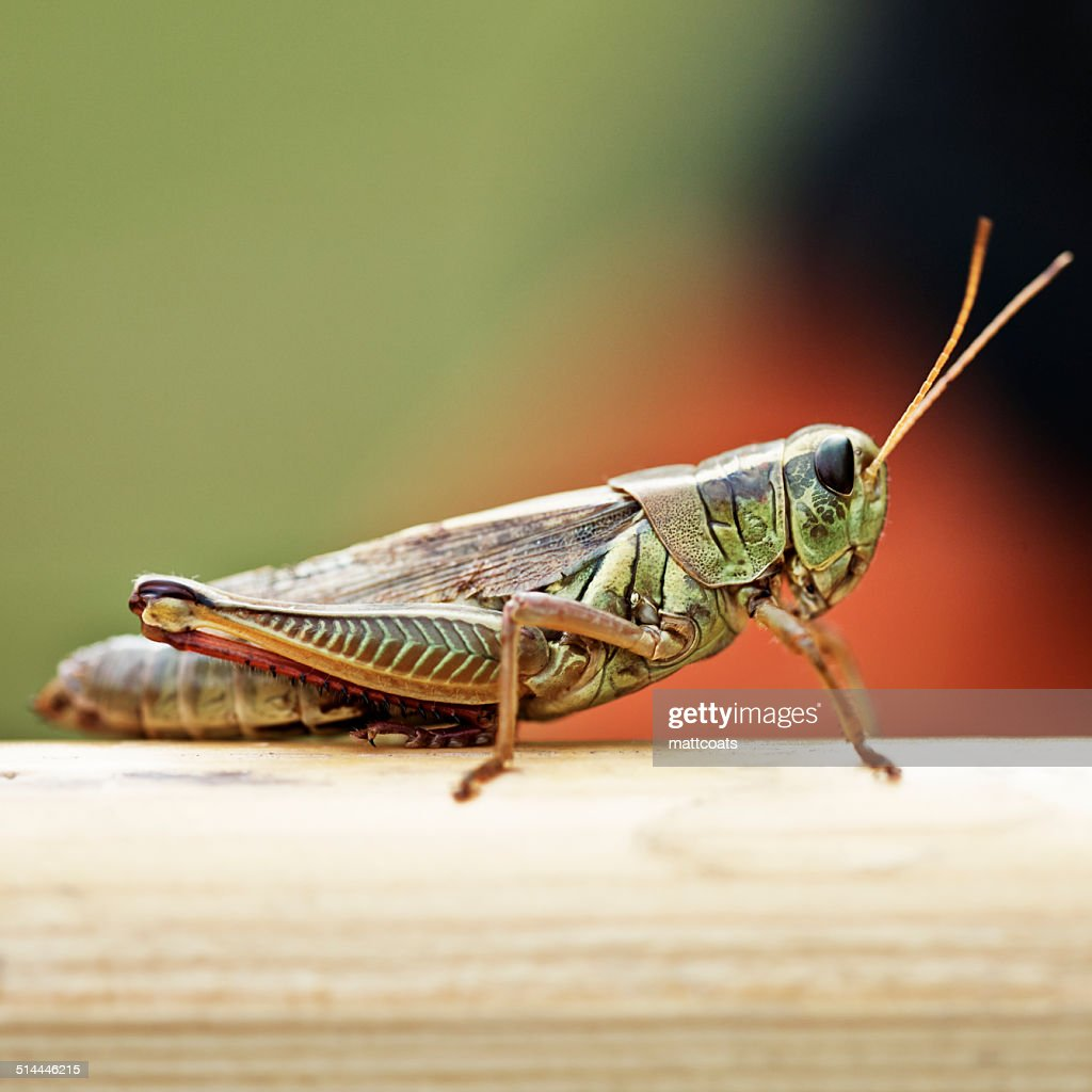 'USA, New York State, Greene County, Town of Lexington, West Kill, Grasshopper in summer'