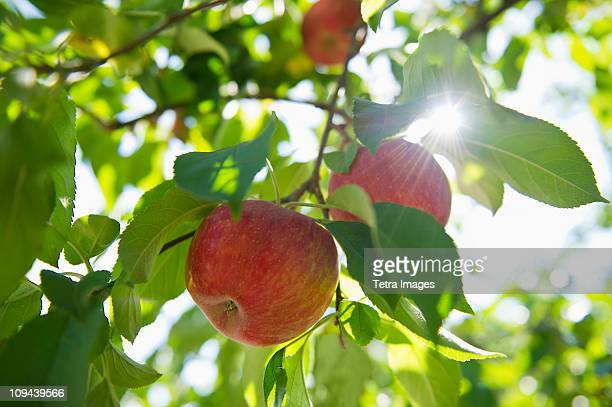 USA, New York State, Hudson, Apples growing on tree in orchard