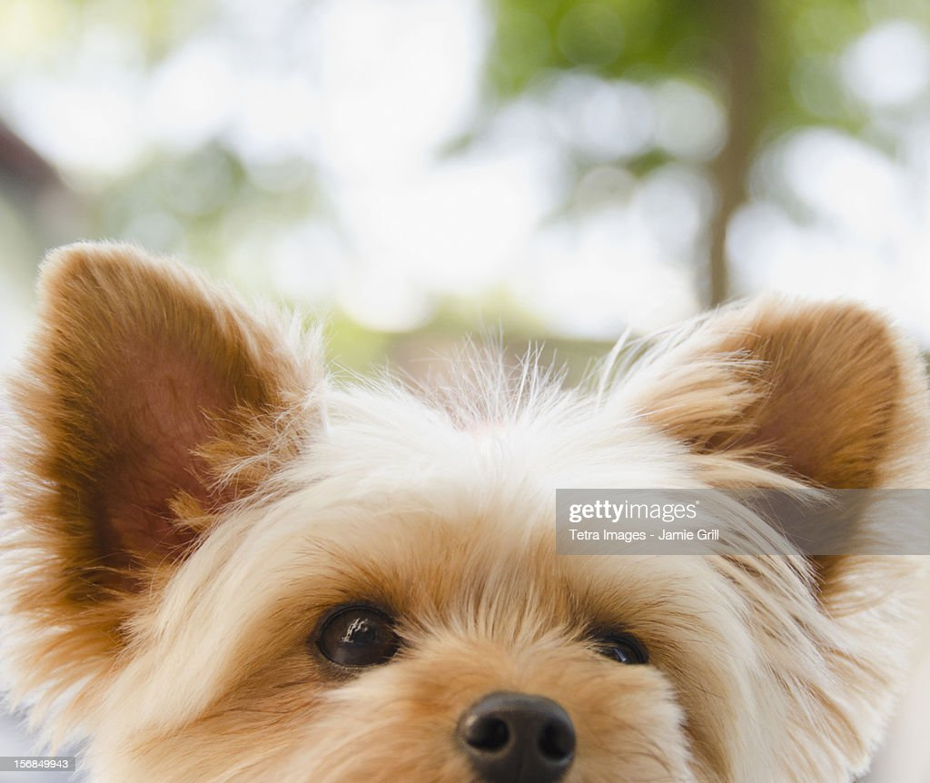 USA, New York State, New York City, Brooklyn, Portrait of Yorkshire terrier : Stock Photo