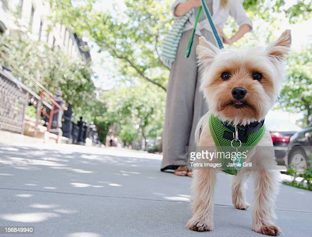USA, New York State, New York City, Brooklyn, Woman walking with Yorkshire terrier