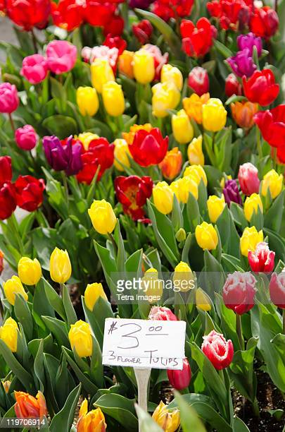 USA, New York State, New York City, Colorful tulips for sale