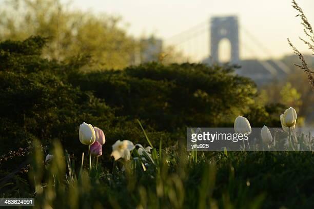 米国、ニューヨーク州ニューヨーク市のチューリップで春