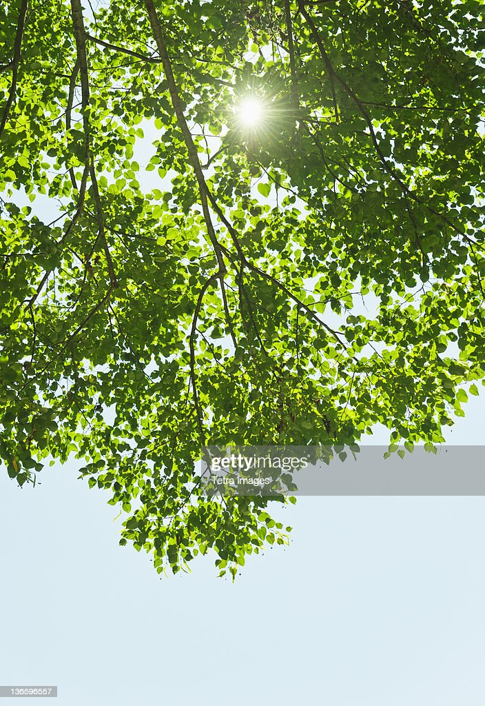USA New York State Old Westbury Sun lighting through tree  Stock Photo  sc 1 st  Getty Images & Usa New York State Old Westbury Sun Lighting Through Tree Stock ... azcodes.com