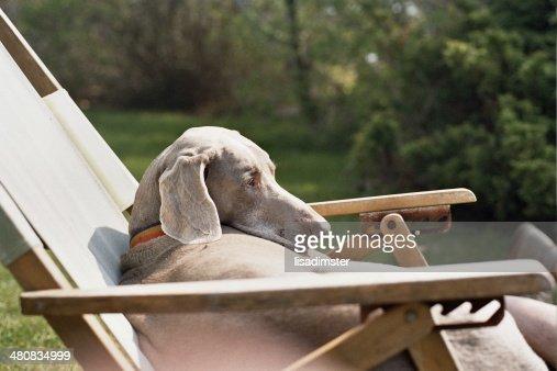 USA, New York, Suffolk County, Montauk, Weimaraner in a beach chair
