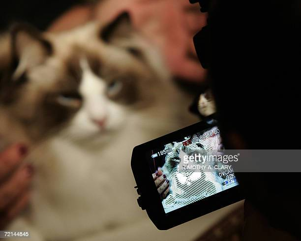 A Ragdoll cat looks into a video camera during the press preview 11 October 2006 at the 4th Annual CFA Iams Cat Championship hosted by the Cat...
