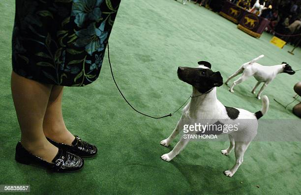 A smooth fox terrier looks up at its handler during judging at the 130th Westminster Kennel Club dog show 13 February at Madison Square Garden in New...