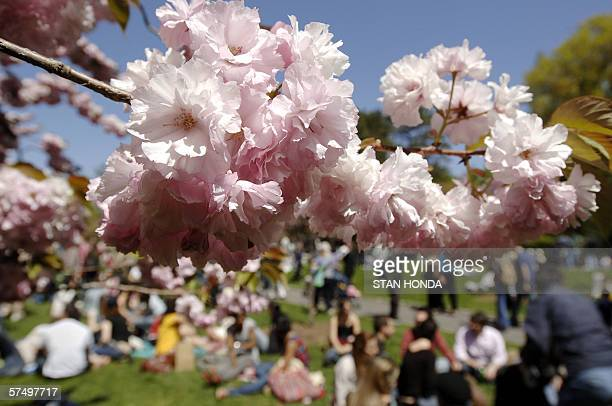 Cherry blossoms bloom as a crowd enjoys the warm weather 29 April during the annual Cherry Blossom Festival at the Brooklyn Botanic Garden in New...