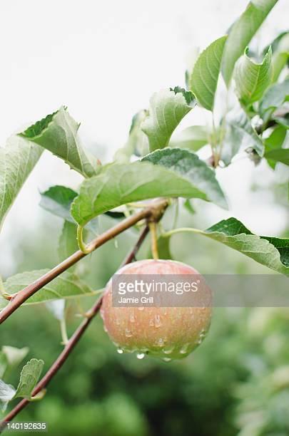 USA, New York, Warwick, Close up of apple on branch